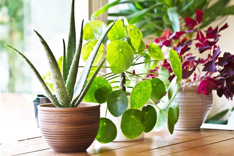 Indoor Plants That Absorb EMF